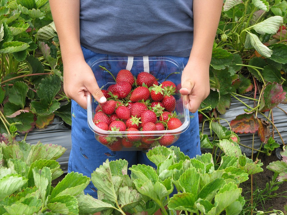 Child holding a container with strawberries they've picked.
