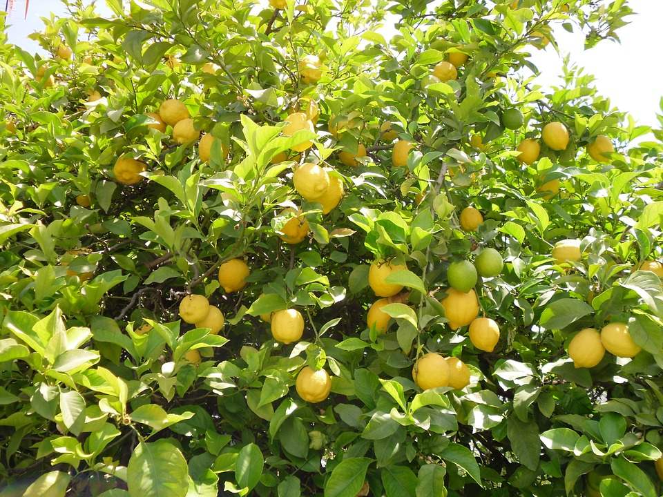 Close up of lemon tree branches with lemons ready to be picked.